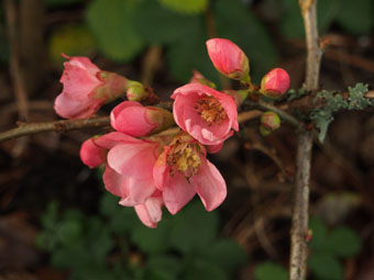 Chaenomeles x superba 'Pink Lady' PC294574