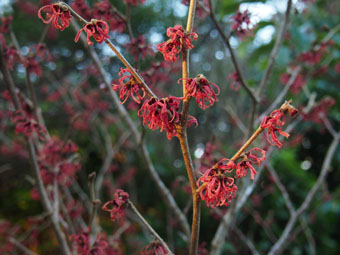 Hamamelis x intermedia 'Ruby Glow' PC284504