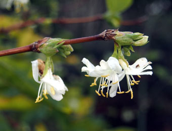 Lonicera x purpursii PC294573