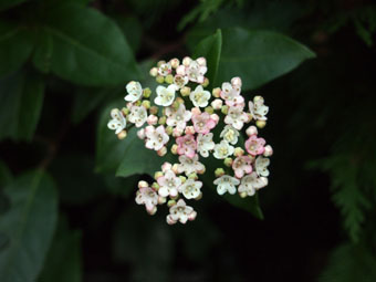 Viburnum tinus 'Eve Price' PC294546